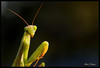 Praying Mantis in Afternoon Light