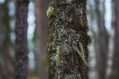 1 (jan-kruasan) Tags: forest moss birch