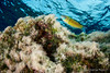 pavo juguetón (II) (Jaime Franch) Tags: diving ibiza formentera buceo baleares labota thalassomapavo tokinaatx107dxfisheyeaf1017mmf3545 mediterráneo visemanafotografíasubmarinaformentera