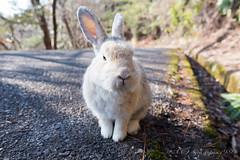 大久野島 ウサギ (GenJapan1986) Tags: 2015 ウサギ 動物 大久野島 広島県 旅行 竹原市 離島 日本 japan hiroshima travel nikond610 animal rabbit