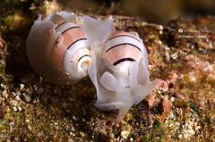 coquin ' llage / Moll' hug (WoeckPhotos) Tags: macro reunion island nikon underwater mating aquatic 60mm ikelite d7000 aplustrum amplustre