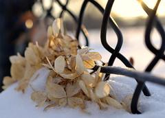 surprises (joy.jordan) Tags: winter light snow texture sunrise fence bokeh hydrangea fencefriday