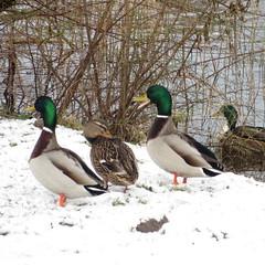 (Landanna) Tags: snow sneeuw ducks sne eenden nder