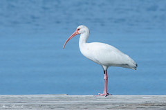 L'attesa - The wait ( Explore 03.02.2015) (Rina Bertocchi) Tags: sea usa nature colors birds animals nikon mare florida natura uccelli keywest colori animali clubit nikonist d7000