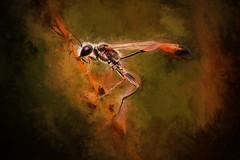 Ammophila sabulosa (Psztor Andrs) Tags: macro art insect nikon hungary wasp fine detailed andrs ammophila sabulosa psztor d5100