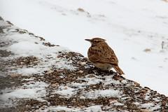 SOLEDAD (Jesus Garcia Gauses) Tags: nieve aves cranes zaragoza fro teruel bello gallocanta aragn grues grullas lagunadegallocanta lascuerlas jessgarcagauses