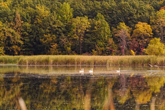 Swans and Geese (joeldinda) Tags: autumn reflection tree bird fall colors forest reeds geese swan pond woods nikon michigan goose swamp marsh bog v1 2012 dimondale eatoncounty 1v1 nikon1v1 statesecondarycomplex