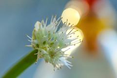 Spring Onion flower (ragnebl) Tags: flower macro spring bokeh onion