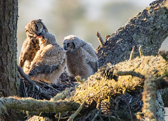 Mother | Provider - Great Horned Owl and Owlets (edcandy86) Tags: sanfrancisco california goldengatepark trees sunset bird nature forest spring nest owl greathornedowl owlets