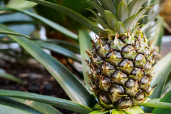 Young pineapple plant (Victor Wong (sfe-co2)) Tags: orange plant macro green texture nature leaves yellow closeup fruit hawaii healthy stem raw natural young exotic health pineapple tropical bromeliaceae diet juvenile nutritious nutrient