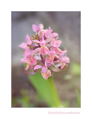 The Queen of May. (BirgittaSjostedt.) Tags: wild plant orchid flower spring blossom outdoor pastel may ie rare dactylorhizasambucina adameva photoborder magicunicornverybest birgittasjostedt