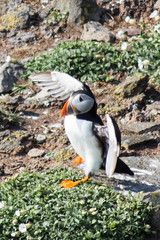 Swagger (jonathan.scaife81) Tags: sea canon scotland fife walk may forth puffin aquatic 70300mm isle strut firth swagger tamron70300 650d