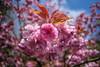 Big Pink (fs999) Tags: auto flower macro fleur paintshop pentax wide paintshoppro 20mm fullframe blume makro corel bloem k1 aficionados pentaxist soligor 100iso artcafe masterphotos pentaxian ashotadayorso macrolife justpentax topqualityimage wideauto zinzins flickrlovers pentaxk1 topqualityimageonly fs999 fschneider pentaxart soligorcdwideauto20mmf28 soligor20 x8ultimate paintshopprox8ultimate