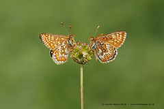 Marsh Fritillary Pair (Louise Morris (looloobey)) Tags: david sunshine early pair marshfritillary saladburnett aq7i0527