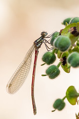 Pyrrhosoma nymphula (macho/male) (Teo Martnez (temege)) Tags: red naturaleza insectos verde green primavera nature insect spring rojo balsa frutos caballito invertebrados odonatos pyrrhosoma zigpteros