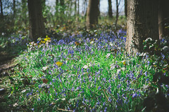 Hagg Wood (Matthew-King) Tags: wood york flowers trees bluebells purple forestry commission dunnington hagg