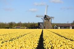 Hoogeveense molen, Noordwijkerhout, May 3, 2016 (cklx) Tags: holland yellow spring tulips tulip geel tulpen noordwijkerhout tulp 2016 1654 hoogeveensemolen