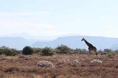 walking by (tschoun.) Tags: africa travel southafrica safari giraffe samara savanna