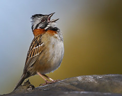 Rufous-collared sparrow (Eric Gofreed) Tags: costarica sanjose sparrow rufouscollaredsparrow