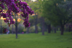 In the Park at Sunset - Explored (FiddleHiker) Tags: park pink flowers trees sunset green nature grass bokeh twincities floweringtree hbw bokehwednesdays colorsstrong
