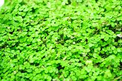 Camarita (22) (BlackestDeth) Tags: verde natural treboles