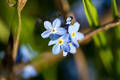 Vergissmeinnicht (-ST3V3-) Tags: blue flower macro green yellow canon gelb forgetmenot grn blau blume schrfentiefe vergissmeinnicht myosotis ef100 platinumheartaward