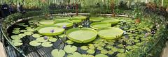 "Inside the Waterlily House (Sheep""R""Us) Tags: flowers england panorama kew gardens unitedkingdom richmond waterlilies gb glasshouse hugin"
