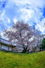 (DSC_2004) (nans0410(busy)) Tags: japan cherry spring kyoto blossom   sakura kansai  fushimi     daigoji   kinkiarea