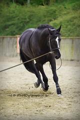 Bimbo - Longe (PhotOw'graphie) Tags: horse cheval noir sable travail trot chevaux longe entrainement quitation