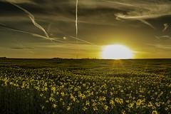 Billinge Sunset (ianandbarbara.bonnell@btinternet.com) Tags: uk sunset england sky rural farmland lancashire serene sthelens wigan merseyside vapourtrails billinge billingehill