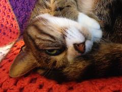 liliboule (alexandrarougeron) Tags: lili poupouce chat chatte cat poli oeil moustache beaut belle beau magnifique excellent rebelle douce bisous clin canaille paris lige montmartre douceur gentille poil fourrure minou