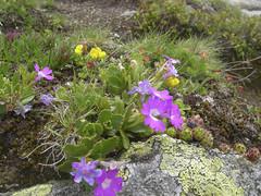 Alpiner-Garten (aletscharena) Tags: schweiz sommer wallis bettmeralp unescowelterbe alpenblumen alpenkruter aletscharena