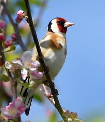 Goldfinch in the blossom. (Carl Bovis Nature Photography) Tags: uk england colour bird nature blossom goldfinch somerset finch levels springwatch somersetlevels carlbovisnaturephotography