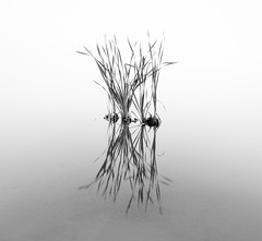Like a Jazz Quartet (ajecaldwell11) Tags: light newzealand sky bw mist reflection water fog clouds reeds dawn fineart hawkesbay laketutira