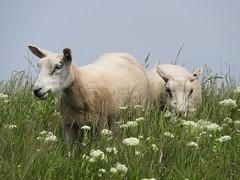 Schaapjes op de dijk (Omroep Zeeland) Tags: de op dijk schaapjes
