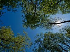 Looking up (turqoisephoto) Tags: wood trees sun nature landscape spring bluesky sonne baum blauerhimmel mft gx7