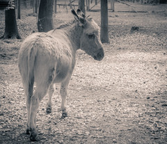 Somtimes I feel a bit... (Florian Grundstein) Tags: cute animal bayern sad donkey olympus florian tierpark omd oberpfalz wildpark grundstein mft teublitz hllohe