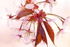 Pink (evisdotter) Tags: pink flowers macro spring bokeh blommor krsbrsblom sooc platinumheartaward
