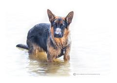 MAX (mark_rutley) Tags: pets dogs animals puppy hampshire pup germanshepherd alsatian countrypark netley victoriacountrypark