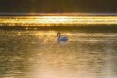 sur le lac d or (gillesfournier005) Tags: couleurs or cygne d5100 le16052016