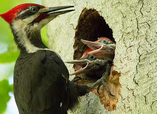 Pileated Woodpecker Chicks with Dad