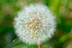Make A Wish (taitalan) Tags: white plant flower macro spring seed dandelion seeds wish d7100