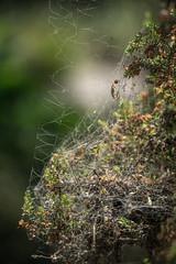 Day 152: Chaotic Web (adamsarasin) Tags: plant nature web