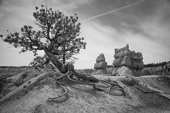 Great Basin Bristlecone Pine (Bryce Canyon) (campmusa) Tags: blackandwhite tree landscape utah nationalpark spring moab brycecanyon 2016 greatbasinbristleconepine dixienationalpark