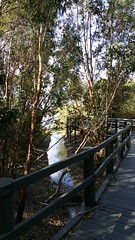 the drainage ditch is full after today's downpour (ClareSnow) Tags: autumn water australia naturereserve perth boardwalk eucalyptus gumtree drainageditch waterlevel eucalyptusrudis floodedgum lakegwelup lakegwelupreserve