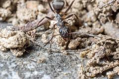 ant (Yunhyok Choi) Tags: macro closeup asahi pentax kr k3  macrophotograph  pentaxk3 smcpentaxfamacro50mmf28