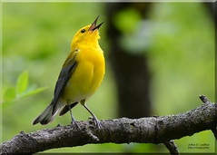 Prothonotary Warbler Singing (Explore!) (Windows to Nature) Tags: