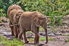 David Sheldrick Elephant Orphanage 5 (Grete Howard) Tags: safariinafrica safari whichsafaricompany bestsafaricompany calabashadventures travel holiday africa kenya elephants davidsheldrickwildlifetrust elephantorphanage wildelife animals nairobi