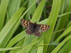 Duke of Burgundy - Hamearis lucina (ArtFrames) Tags: ivinghoe butterflies duke burgundy hamearis lucina 40150 pro lens