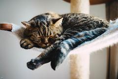 Heute ist ein Tag zum Abhngen (Petra Wendt) Tags: pet cat 35mm nikon df katze haustier kater britishshorthair bkh britischkurzhaar rni nikon35mmf25seriese nikondf